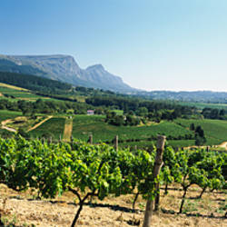Vineyard with Constantiaberg Range and Table Mountain in the background, Constantia, Cape Town, Western Cape Province, South Africa