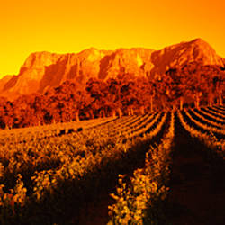Vineyard with mountains in the background, Groot Drakenstein, Stellenbosch, Cape Winelands, Western Cape Province, South Africa