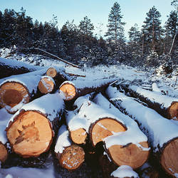 Stack of cut ponderosa pine tree logs (Pinus ponderosa) in snow, Santa Fe National Forest, New Mexico, USA