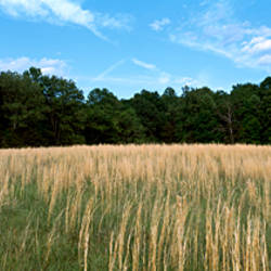 Tall grass in a field, Madison, Rockingham County, North Carolina, USA