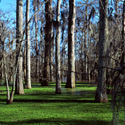 Trees in a forest, Bijou, Louisiana, USA