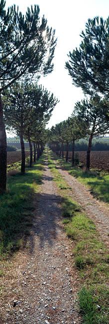 Trees along a dirt road, Tuscany, Italy