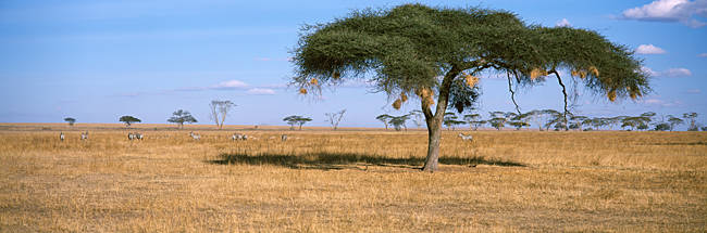 Acacia trees with weaver bird nests, Antelope and Zebras, Serengeti National Park, Tanzania