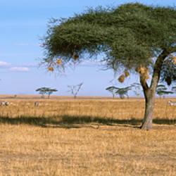Acacia trees with weaver bird nests, Antelope and Zebras, Serengeti National Park, Tanzania