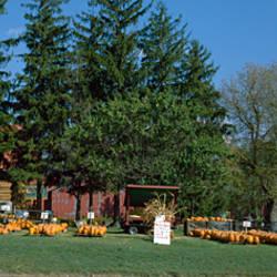 Pumpkins in a field, north of Toronto, Ontario, Canada