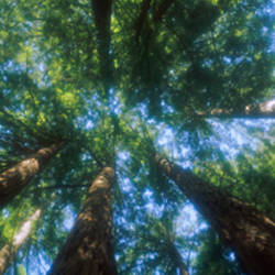 Low angle view of Sequoia trees (Sequoia sempervirens), Muir Woods National Monument, Marin County, California, USA