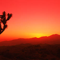 Silhouette of a Joshua tree at dusk, Joshua Tree National Park, California, USA