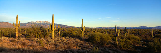 Saguaro cacti in a desert, Four Peaks, Phoenix, Maricopa County, Arizona, USA