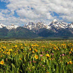 Balsam roots in a field with mountains in the background, Antelope Flats, Grand Teton National Park, Wyoming, USA
