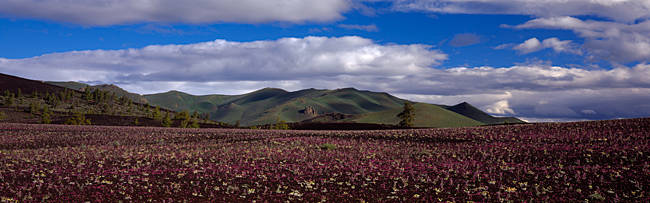 Wildflowers in a field with mountains in the background, Craters Of The Moon National Park, Idaho, USA