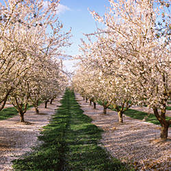Almond trees in an orchard, Central Valley, California, USA