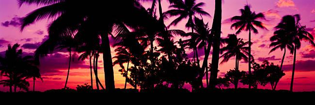 Silhouette of palm trees at sunset, Ko Olina, Oahu, Hawaii, USA