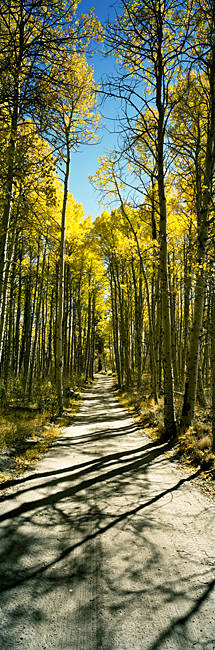 Aspen trees in a forest, Californian Sierra Nevada, California, USA