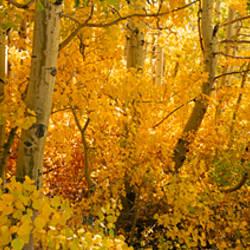 Aspen trees in a forest, Californian Sierra Nevada, California, USA