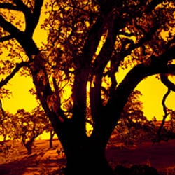 Silhouette of Coast Live Oak trees (Quercus agrifolia), California, USA
