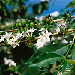 Flowers on coffee plants, Kealakekua Bay, Kona, Hawaii, USA