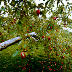 Apple trees in an orchard, Quebec, Canada
