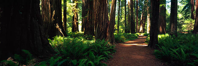 Trail in a forest, Redwood National Park, California, USA