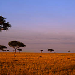 Acacia Trees on a landscape, Masai Mara, Kenya, Africa