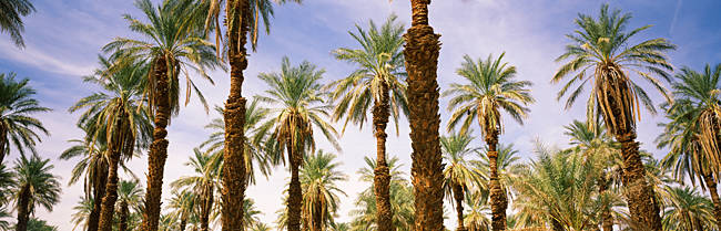 Low angle view of palm trees, Furnace Creek, Death Valley, Death Valley National Park, California, USA
