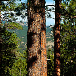 Trees with mountains in the background, Harney Peak, Mt Rushmore National Monument, Custer County, South Dakota, USA
