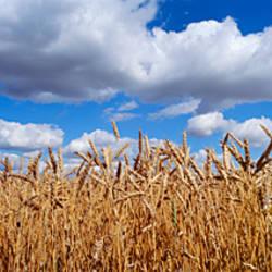Wheat crop growing in a field, near Edmonton, Alberta, Canada