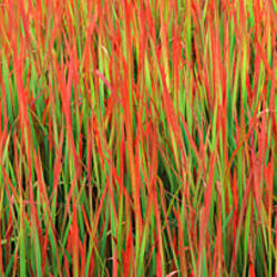 Red baron (Imperata cylindrica) in a field