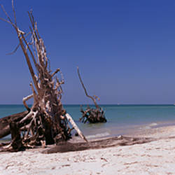 Dead trees on the beach, La Costa Island, Lee County, Florida, USA
