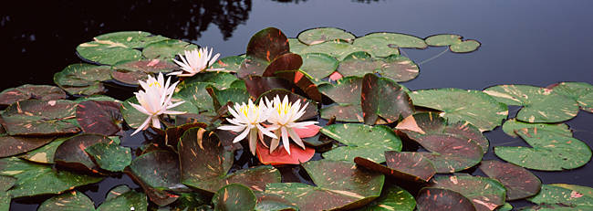 Water lilies in a pond, Sunken Garden, Olbrich Botanical Gardens, Madison, Wisconsin, USA