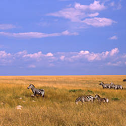 Zebra migration, Masai Mara National Reserve, Kenya