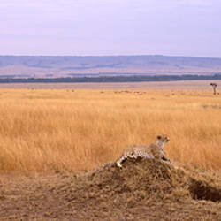 Cheetah (Acinonyx jubatus) sitting on a mound looking ahead, Masai Mara National Reserve, Kenya