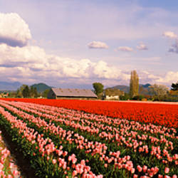 Tulips in a field, Skagit Valley, Washington State, USA