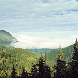 Trees in a forest, Hurricane Ridge, Olympic National Park, Washington State, USA