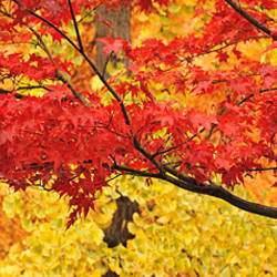 Autumnal leaves on Maple trees in a forest, Lithia Park Ashland, Oregon