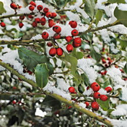 Close-up of holly berries covered with snow on a tree
