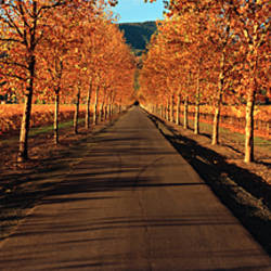Vineyards along a road, Beaulieu Vineyard, Napa Valley, California, USA