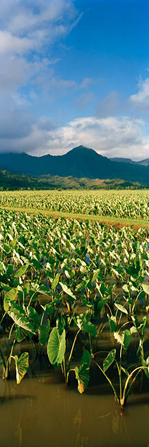 Taro crop in a field, Hanalei Valley, Kauai, Hawaii, USA