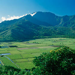 High angle view of taro fields, Hanalei Valley, Kauai, Hawaii, USA