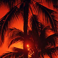 Low angle view of palm trees at dusk, Kalapaki Beach, Kauai, Hawaii, USA
