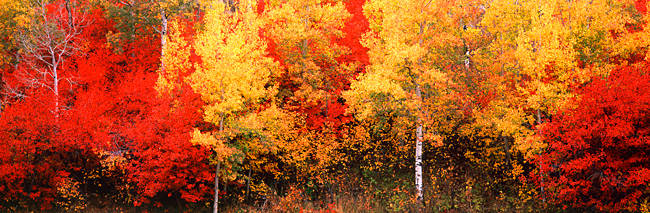 Aspen and Black Hawthorn trees in a forest, Grand Teton National Park, Wyoming, USA