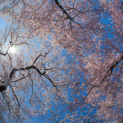 Low angle view of Cherry Blossom trees, Washington DC, USA