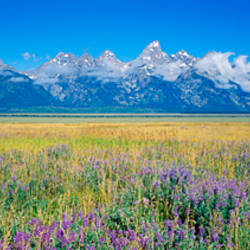 Field of flowers, Grand Teton National Park, Wyoming, USA