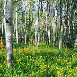 Field of Rocky Mountain Aspens