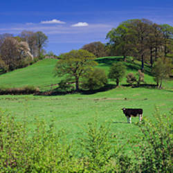 Two cows grazing on a landscape, Lyth Valley, English Lake District, Cumbria, England