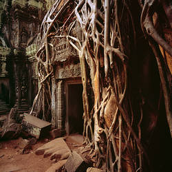 Banyan tree (Ficus benghalensis) growing in a temple, Cambodia