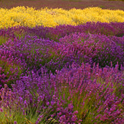 Lavender and Yellow Flower fields, Sequim, Washington, USA