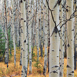 Aspen trees in a forest, Alberta, Canada