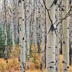 Aspen trees in a forest, Alberta, Canada
