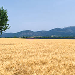 Tree in a wheat field, Plateau de Valensole, Provence, France