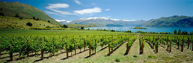 Vineyard in front of a lake, Rippon Vineyard, Lake Wanaka, Central Otago, New Zealand